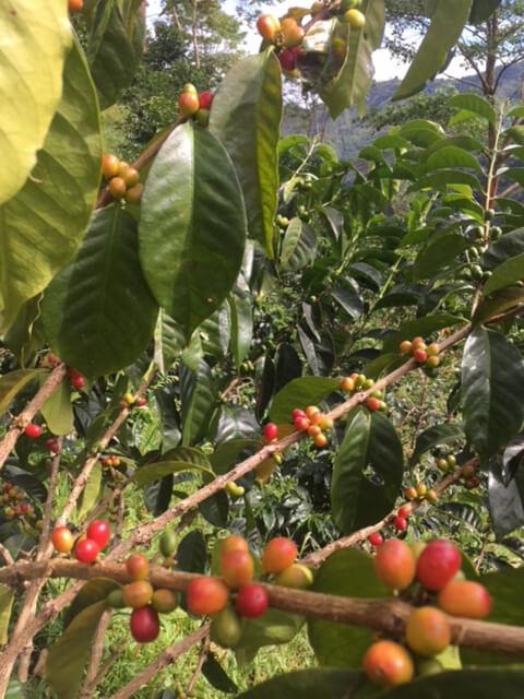 コロンビア ロス・ナランホス農園 ピンクブルボン種の果実