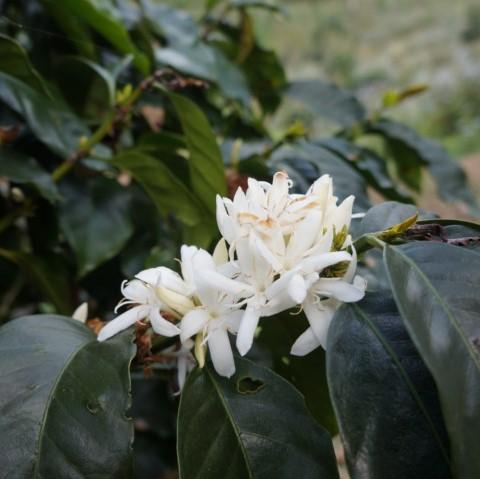 コーヒーの白い花