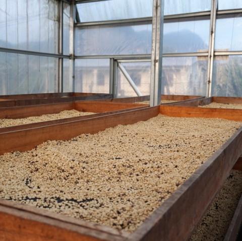 コーヒー生豆の乾燥